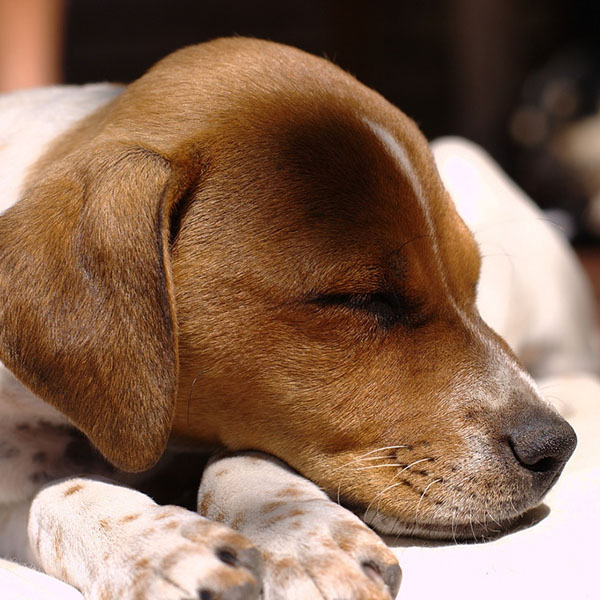 sleeping_puppy_2